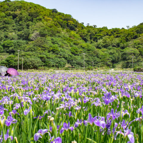 Kijoka Purple Iris Fields