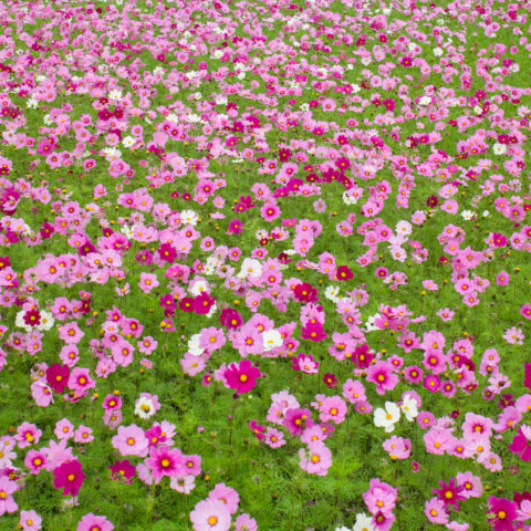 Cosmos and Cherry Blossoms in Nago