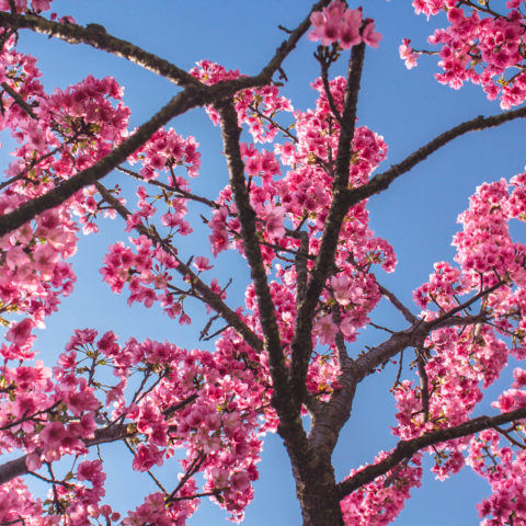 Nakijin Castle Ruins Cherry Blossoms